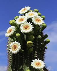 Photo white cactus flower